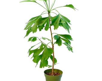 Ginkgo Biloba Bonsai Tree (1005)