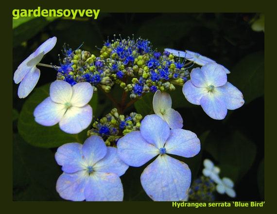 HYDRANGEA SERRATA BLUEBIRD STARTER PLANT