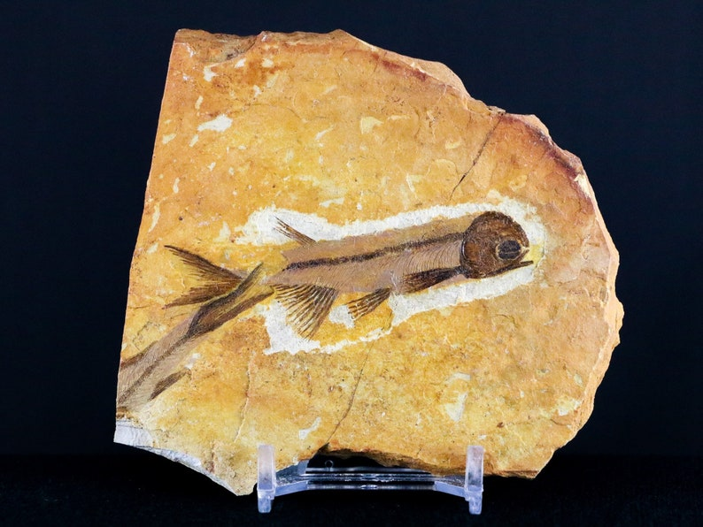 2.8 Lycoptera Fossil Fish Plate Specimen Jurassic To Cretaceous China Grade A Certificate of Authenticity Free Stand And Shipping