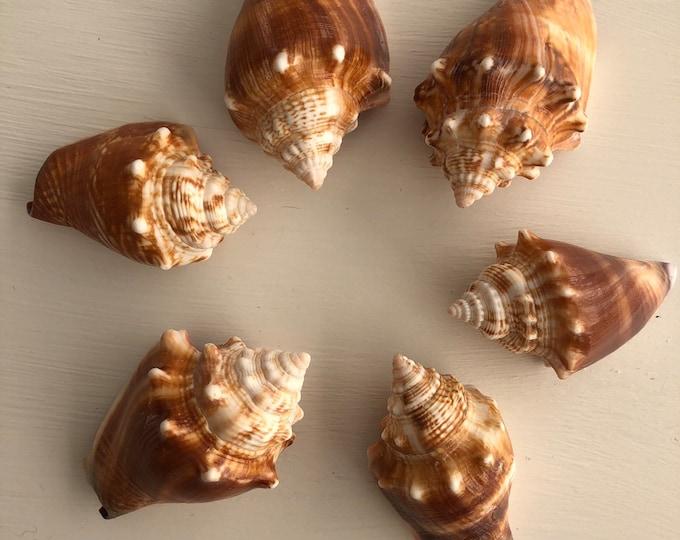 6 FL Fighting Conch Shells