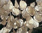 Lunaria seeds (20) Moonwort Honesty Money Tree Silver Dollar Medicinal 0.5g, FREE shipping