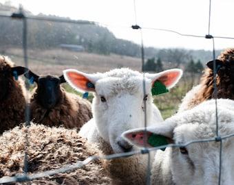 Sheep at Vermont Farm - Photographic Print