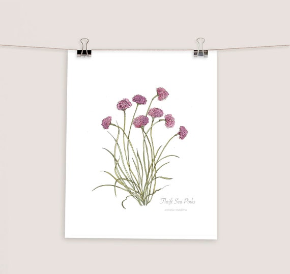 Thrift sea pinks wild flower botanical print watercolour etsy image 0 mightylinksfo