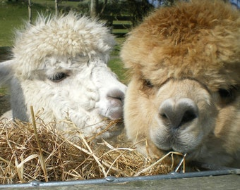 Adopt an Alpaca from Little Hamlet Alpaca Rescue. Perfect Gift for yourself or someone special