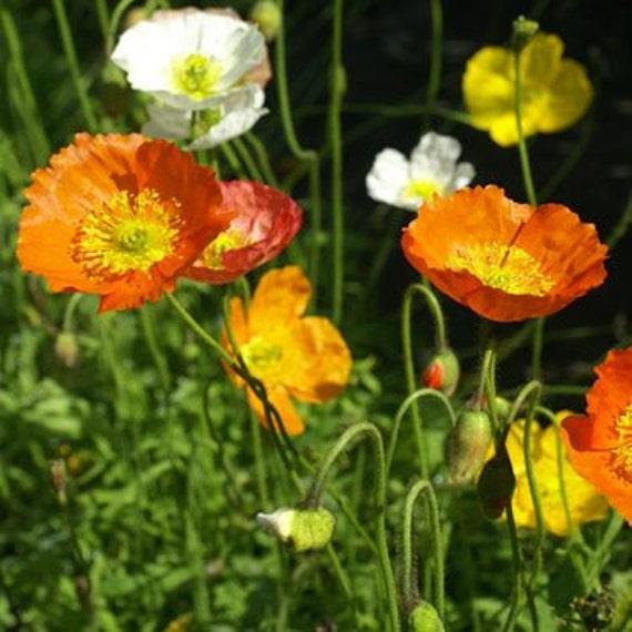 Iceland poppy flower seedspapaver nudicauleannual 100 etsy image 0 mightylinksfo