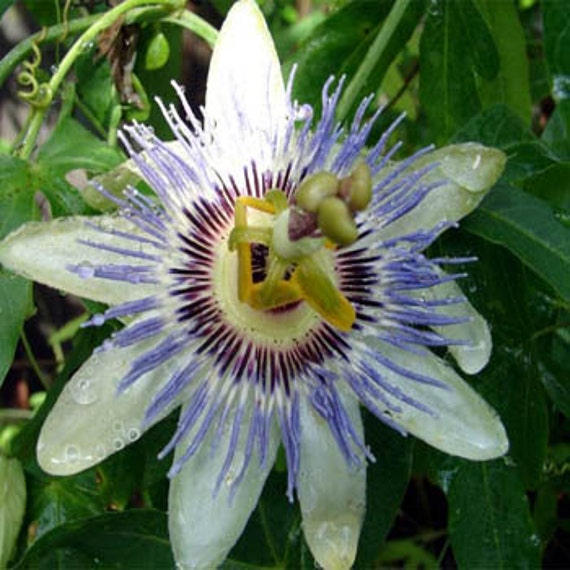 15 Seeds Passiflora caerulea Hardy Blue Passion Flower