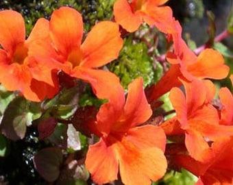 Twinkle Orange Mimulus Flower Seeds/Monkey Flower/Annual  50+