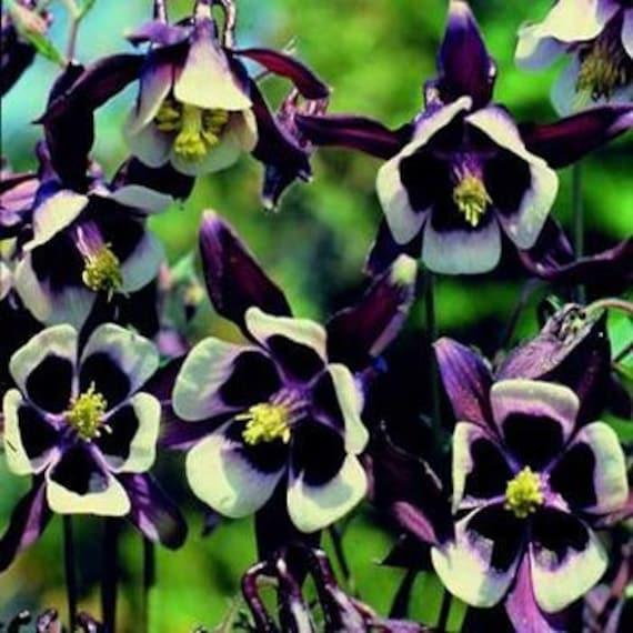Aquilegia William Guinness  Flower Seeds  Columbine  Perennial 30+