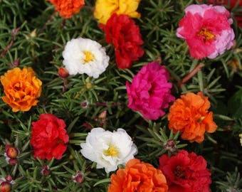 Portulaca Moss Rose Mix/Grandiflora/Annual   75+
