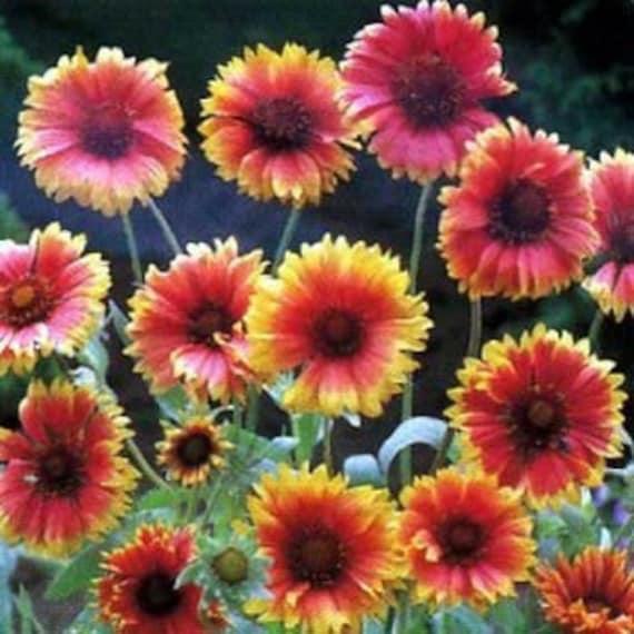 Blanket flower gaillardia flower seedsaristataperennial etsy image 0 mightylinksfo