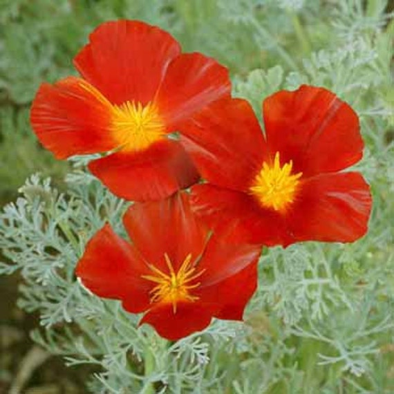 Red Chief California Poppy Flower Seedseschscholziaannual Etsy