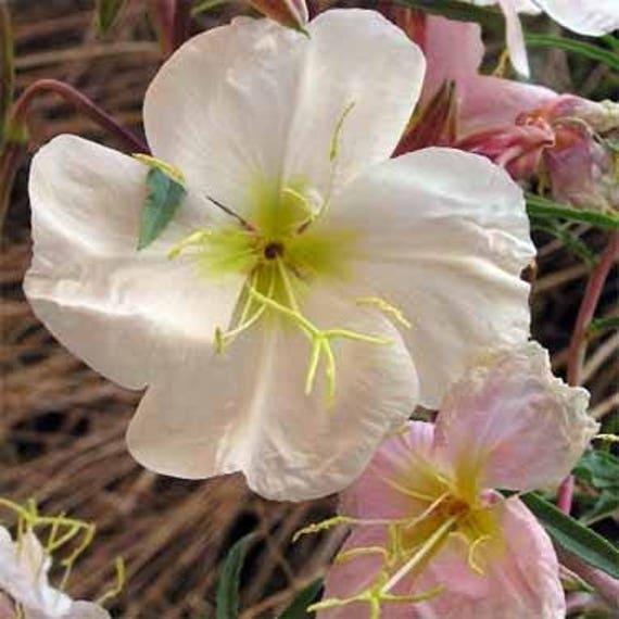 100+Seeds Pale Evening Primrose Flower Seeds Oenothera Pallida