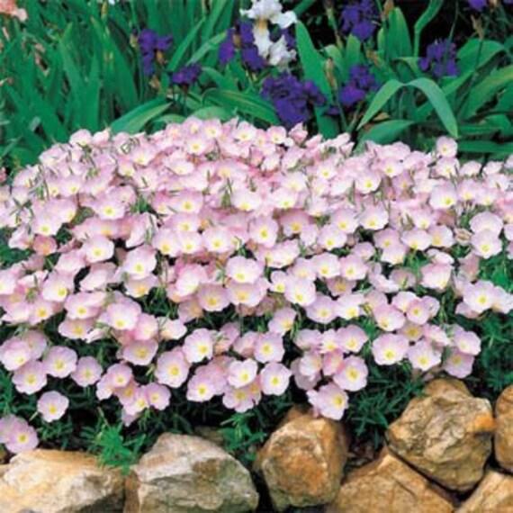Showy Evening Pink Primrose Flower Seedsperennial 50 Etsy