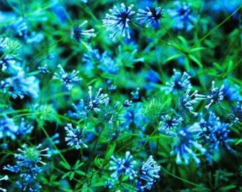 Blue Woodruff Surprise Flower Seeds/Asperula Orentalis/Annual   50+