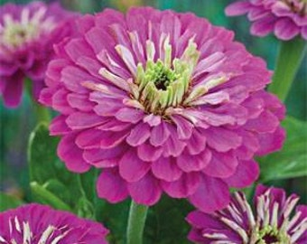 Purple Prince Dahlia Flowered Zinnia Flower Seeds/ Elegans/Annual   35+