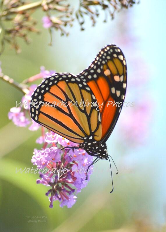 Monarch Butterfly Soft Morning Light 8x10 #0877/_90/_2015