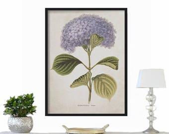 Hydrangea Botanical Print -  Large Print - Vintage Print - Wall Hanging - Farmhouse Decor - Rustic Decor - Vintage Print - French Country