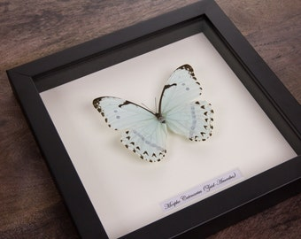 The Mint Morpho in Black Wooden Frame   Morpho Catenarius   Real Framed Butterfly   Taxidermy