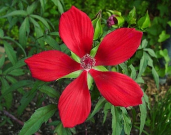 Texas Star Hibiscus Etsy