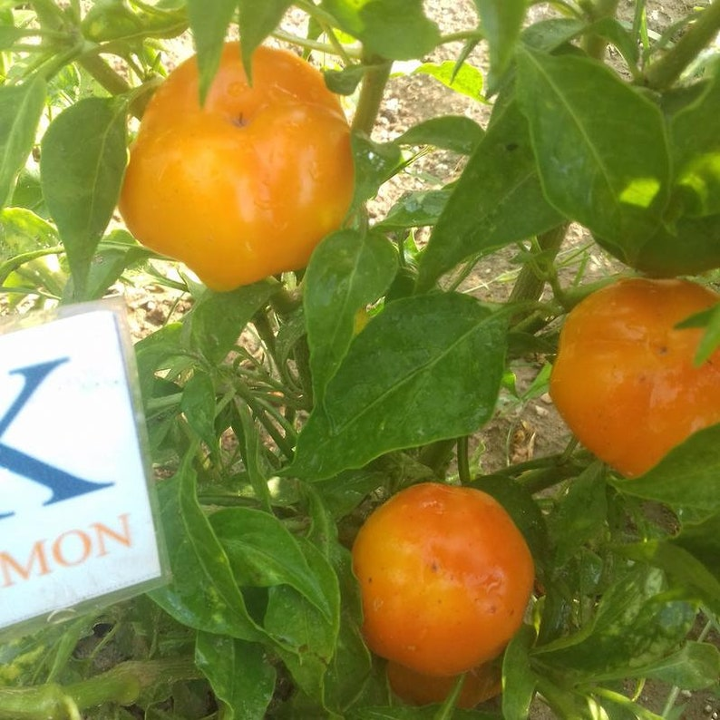 276 seeds 10 seeds Capsicum annuum homegrown Apfel Paprika