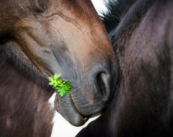 THE OFFERING. Horse Print, Equine Print, Photographic Print, Limited Edition, Horse Picture
