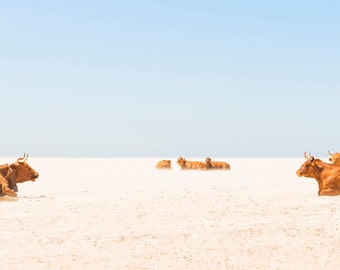 "Cow Print. ""Sunbathing Cows"",  Tarifa Beach, Animal Print, Wildlife Photography, fine art photography, Cows on Beach, Wall Decor."