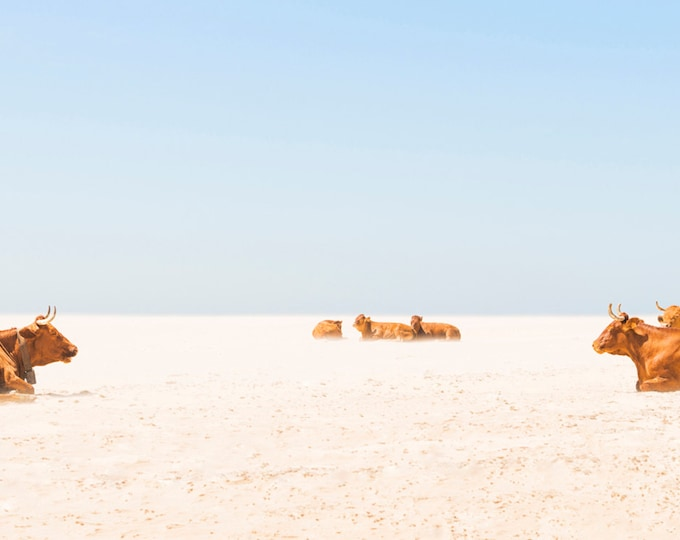 Cows Laying On the Beach, Cow Print, Fine art Print, Animal Print, Fine Art Prints, Beach Print, Wall Decor, Gift For Her,