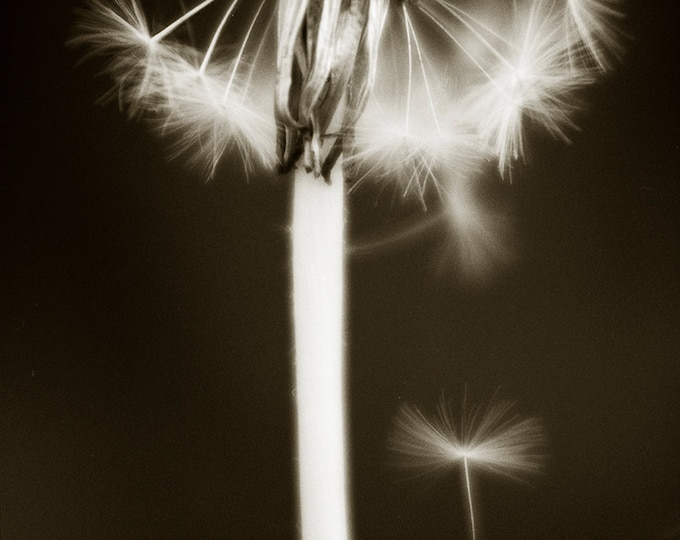 Dandelion Flower with Seed,Plant prints,nature prints,black and white picture,limited edition print