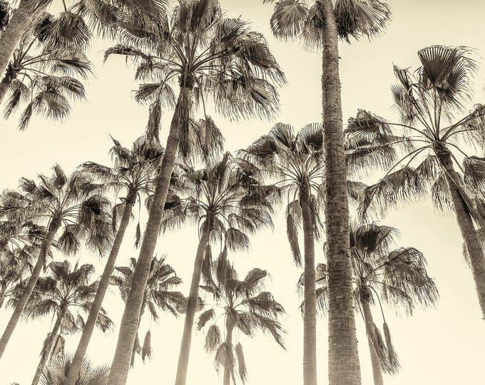 TALL PALM TREES Giclee Print