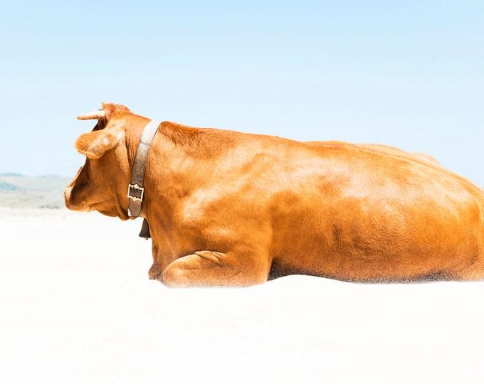 SUNBATHING COW. Cow Print, Animal Art, Tarifa Picture, Spain Print, Cattle Photograph, Photographic Print