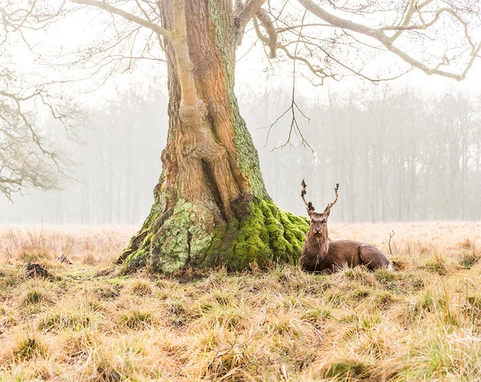 THE STAG 2. Animal Print, deer, Stag Picture, Wildlife picture, Nature Print, Limited Edition, Photographic Print