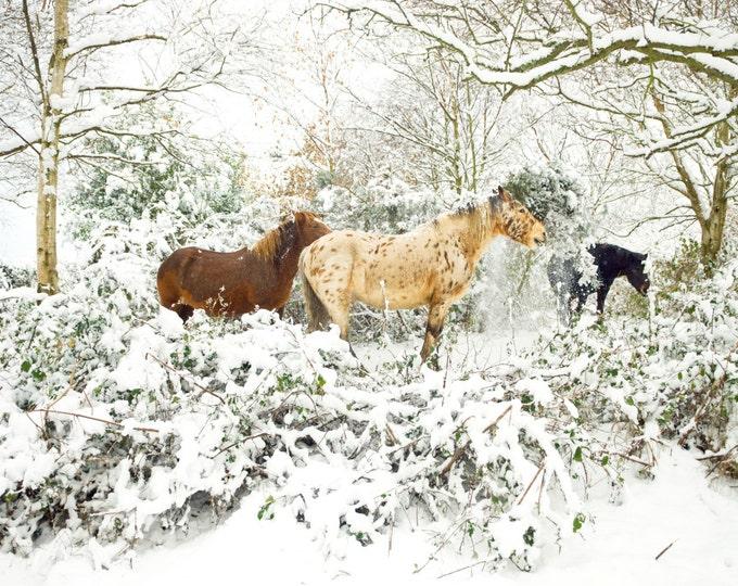WINTER APPALOOSA HORSE Print