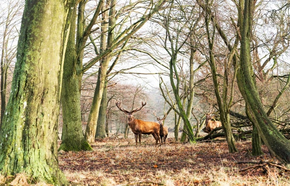 THE STAGS. animal print, wildlife picture, stag print, photographic print, limited edition print
