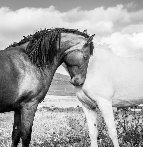 TOGETHER 2. Horse Prints, Equine Art, Black and White, Monochrome Prints, Photographic Print.
