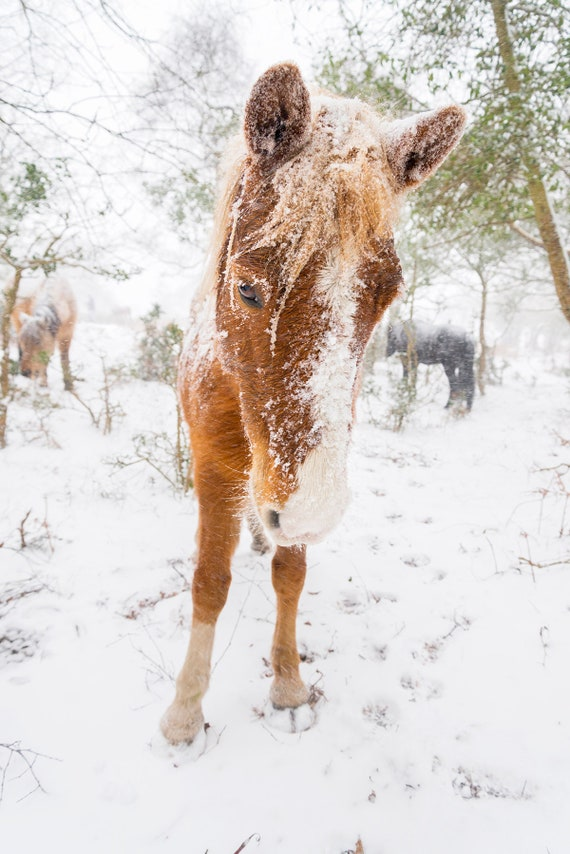 SNOW HORSES 4, Horse Print, Equine Print, New Forest Pony, Animal Print, Dorset Print, Horses in Snow