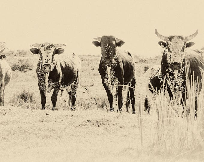THE GANG. Cow Print, Bull Picture, Animal Portrait, Wildlife Photography, Limited Edition, South Africa