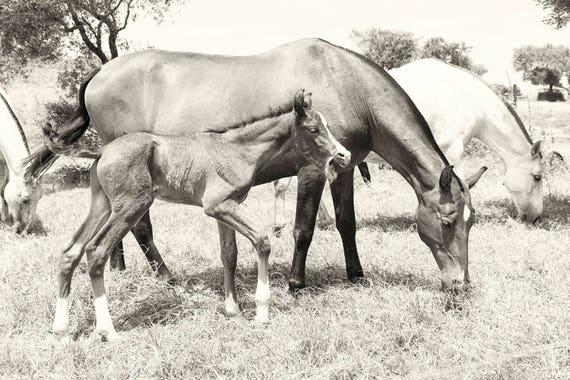Horse Prints, Equine Prints, Spanish Horses, Animal Prints, Black and White Print, Large Horse Prints, Photographic Prints