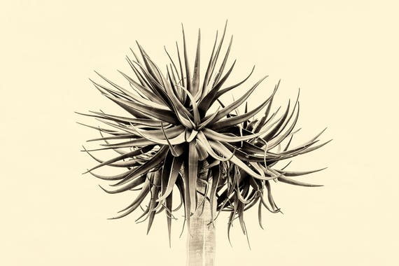 QUIVER TREE. Plant Print, Sepia Tone Print, South Africa, Black and White, Limited Edition Print, Travel Photography, Giclee print