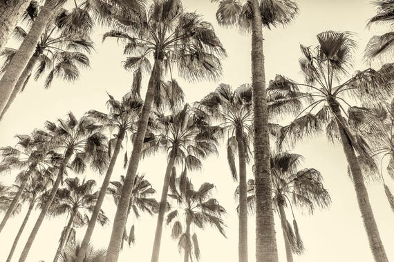 CANARY ISLAND PALMS. Palm Trees, Canary Islands, Sepia Toned Print, Limited edition, Wall Art, Photographic Print, Giclee Print