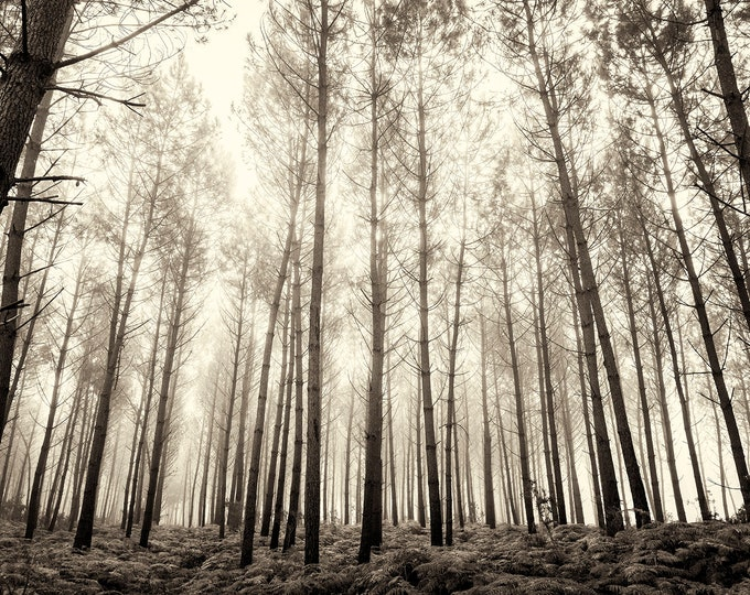 Tree Print, Forest in Fog, Forest Print, Woods, Nature Print, Black and White Print, Limited Edition Print