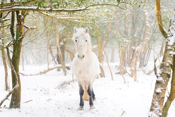 Winter Forest Horse Print, Horses In Snow Print, Equine Print, White Horse, New Forest Pony, Animal Print, Dorset print
