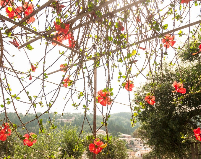 RED HIBISCUS FLOWERS. Flower Print,Red Hibiscus,Photographic Print,Photographic Print