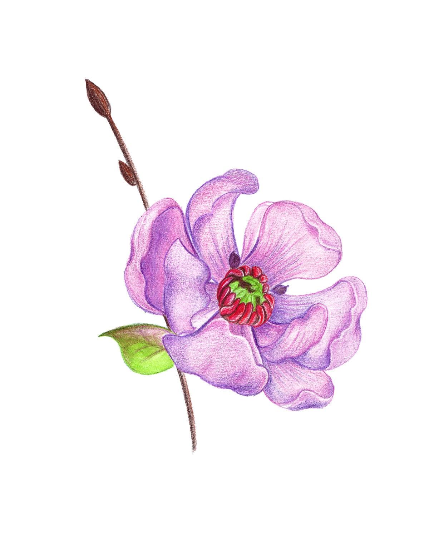 Pink apple flower. Cherry drawing pencils apple flower | Etsy