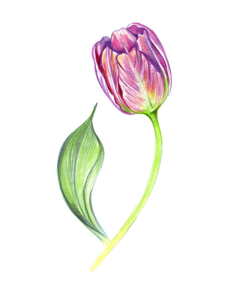 Tulipan Pintado Morado Colorear Dibujo De Flor De Arte Etsy