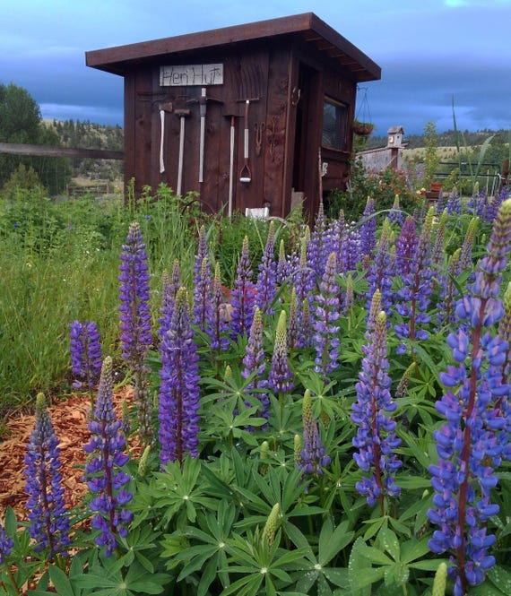 Graines De Fleur Lupin Wildflower Fleurs Lupins Vivaces Etsy
