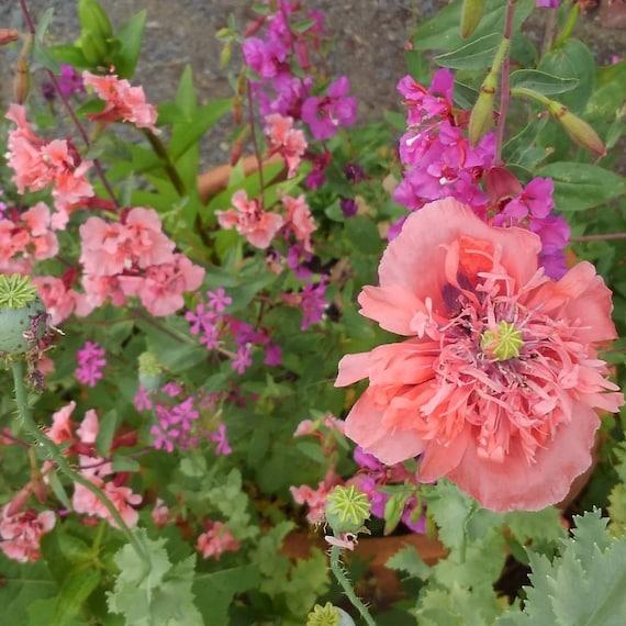 Clarkia And Poppy Seed Mix Clarkia Unguiculata Seeds Papaver Etsy