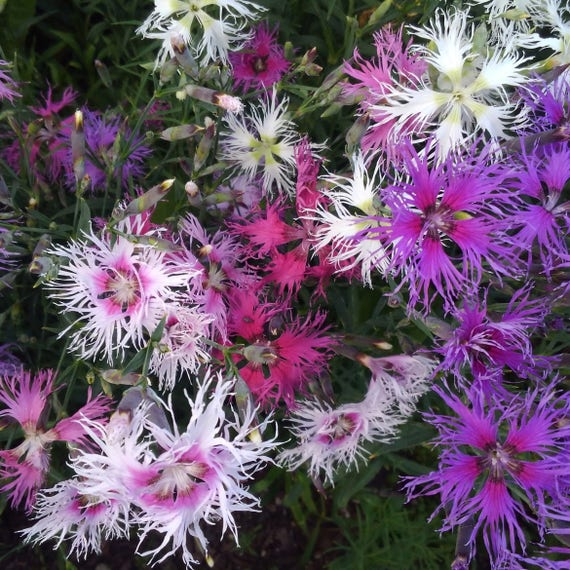 Rare dianthus flower seeds heirloom dianthus flower seeds etsy image 0 mightylinksfo