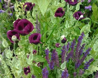 Poppy and Salvia Flower Seed Mix, Magenta Poppy Seeds, Blue Salvia Seeds, Rare Wildflower Seed Mix, Papaver somniferum, Salvia nemorosa