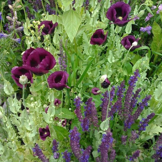 Heirloom poppy and salvia flower seed mix magenta poppy etsy image 0 mightylinksfo