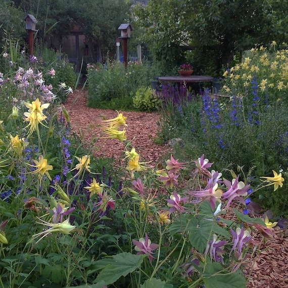 Columbine Floral And Gifts: Native Columbine Flower Seeds Pastel Columbine Seed Mix